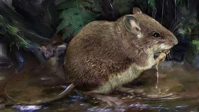 https: img.okezone.com content 2020 10 10 16 2291548 ilmuwan-temukan-spesies-baru-tikus-air-berkaki-panjang-E1y4nQgqwJ.jpg