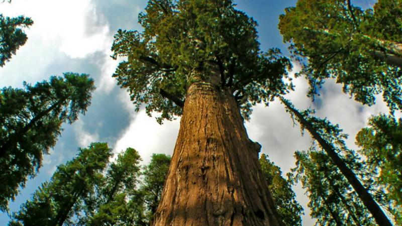 https: img.okezone.com content 2020 10 12 16 2292277 hyperion-pohon-tertinggi-di-dunia-yang-berlokasi-di-california-as-PZBdlzUsGI.jpg