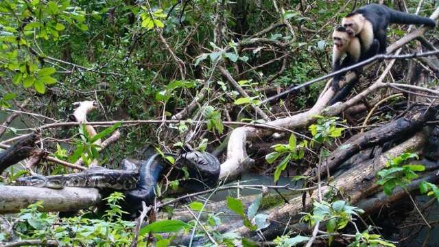 https: img.okezone.com content 2020 10 13 16 2292866 terekam-aksi-heroik-monyet-capuchin-selamatkan-temannya-dari-ular-boa-SyA1TbNGq0.jpg