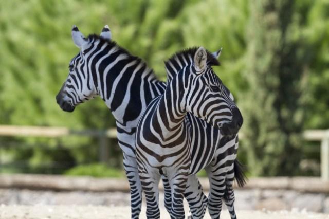 https: img.okezone.com content 2020 10 13 16 2293153 ini-fakta-menarik-corak-kulit-zebra-yang-jarang-diketahui-SoFZXLNLpp.jpg