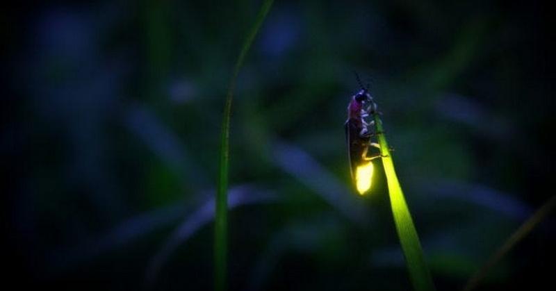 https: img.okezone.com content 2020 10 13 16 2293174 kunang-kunang-tampak-menyala-ketika-di-malam-hari-1TI3gzVITp.jpg
