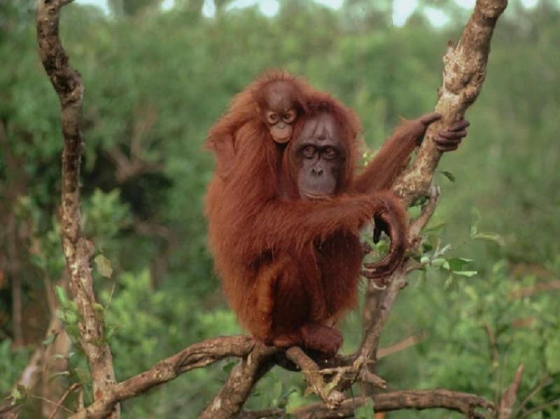 https: img.okezone.com content 2020 10 13 612 2293104 berkenalan-dengan-miss-nana-orangutan-pertama-yang-jadi-aktivis-xEvYWHyEij.jpg