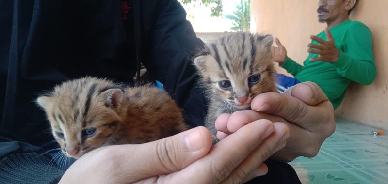 https: img.okezone.com content 2020 10 14 525 2293559 3-anak-kucing-hutan-ditemukan-warga-saat-panen-padi-4nlk89U962.jpg