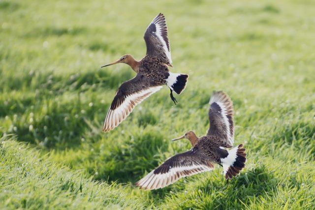 https: img.okezone.com content 2020 10 15 16 2294169 burung-ini-pecahkan-rekor-terbang-dari-alaska-ke-selandia-baru-tanpa-henti-GVgH6RJNGq.jpg