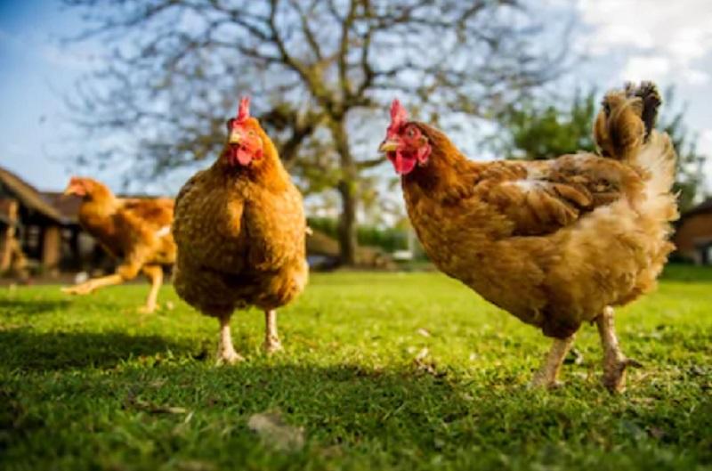 4 Cara Sukses Bisnis Ternak Ayam Kampung Jangan Salah Pilih Kandang Okezone Economy