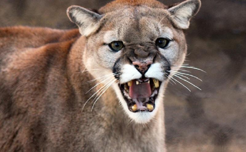 https: img.okezone.com content 2020 10 17 612 2295176 ngeri-pria-ini-diburu-seekor-cougar-EZDVXTsTwh.jpg
