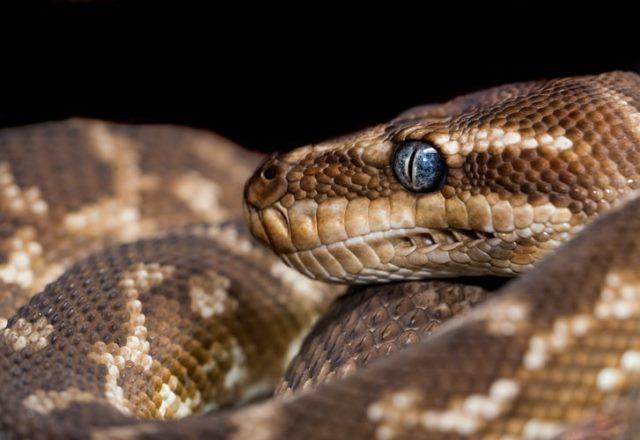 https: img.okezone.com content 2020 10 21 16 2297347 peneliti-temukan-fakta-mata-ular-sanca-lebih-besar-dari-perutnya-NCVHNP8Ziq.jpg