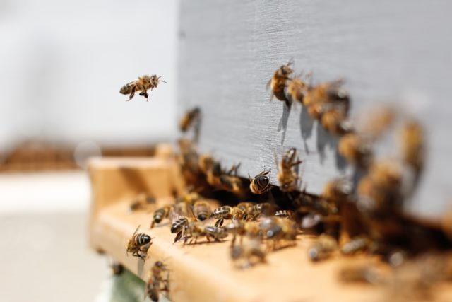 https: img.okezone.com content 2020 10 21 16 2297376 benarkah-lebah-mati-setelah-menyengat-ini-faktanya-mi3MQoiWD7.jpg