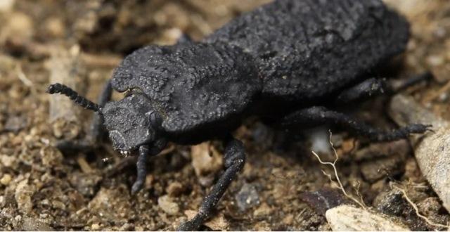Cangkang Kumbang Ini Mampu Menahan Beban hingga 39