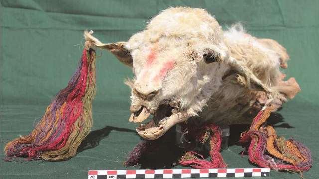 https: img.okezone.com content 2020 10 23 16 2298395 arkeolog-temukan-mumi-hewan-llama-berusia-500-tahun-WJFcwNZLxU.jpg