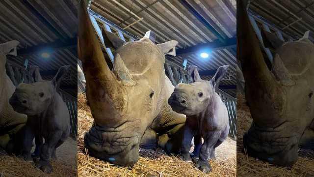 https: img.okezone.com content 2020 10 23 16 2298459 badak-putih-langka-lahir-dengan-selamat-di-kebun-binatang-inggris-RgAPMe7qTN.jpg