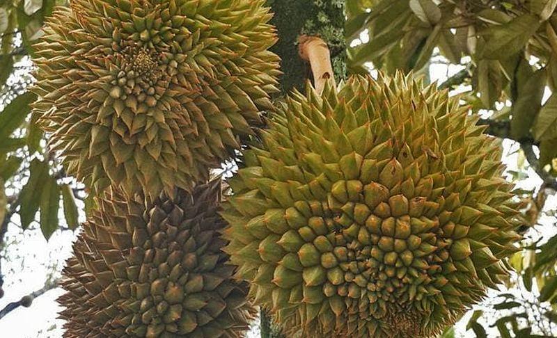 https: img.okezone.com content 2020 10 23 408 2298494 berburu-king-of-fruits-di-kebun-durian-warso-kualitas-nomor-1-38cGV9C3uW.jpg