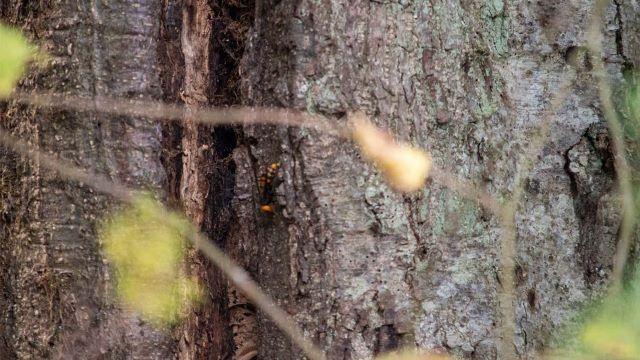 Sarang Lebah Raksasa Asia yang Mematikan Ditemukan