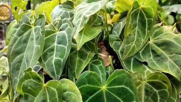 https: img.okezone.com content 2020 10 26 470 2299736 hobi-menghijaukan-rumah-anwari-kaget-saat-punya-tanaman-berharga-fantastis-OKL9p3Jhhc.jpg