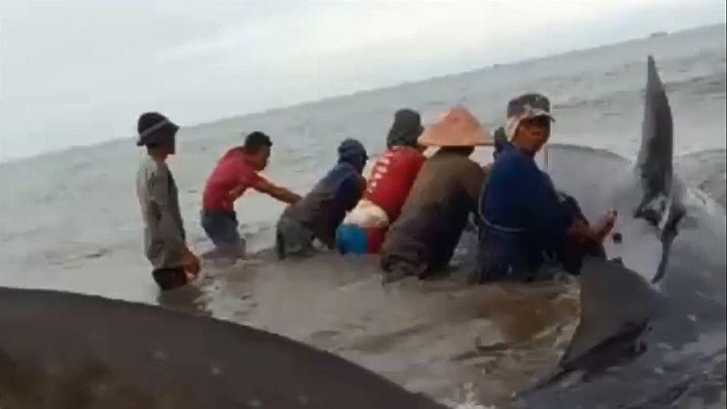 https: img.okezone.com content 2020 10 27 340 2300063 hiu-tutul-sepanjang-7-meter-terdampar-di-pantai-jpQ1SxoyqH.jpg