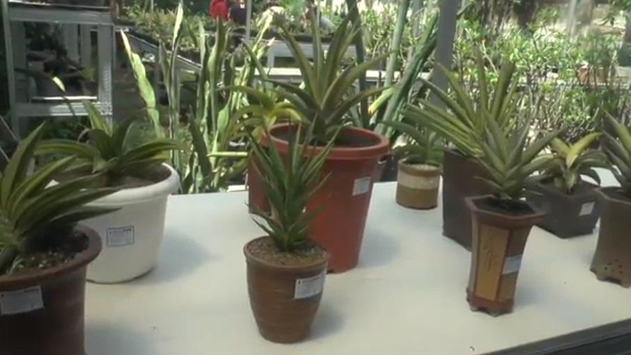 https: img.okezone.com content 2020 11 03 455 2303291 fantastis-tanaman-lidah-mertua-dijual-rp350-juta-VMO4JI4aCv.jpg