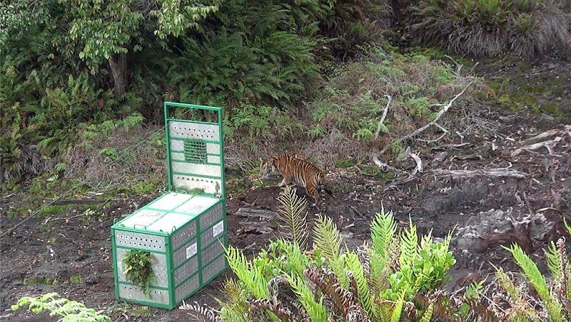 https: img.okezone.com content 2020 11 03 608 2303454 harimau-sumatera-pemangsa-ternak-warga-dilepasliarkan-iASshhIMod.jpg