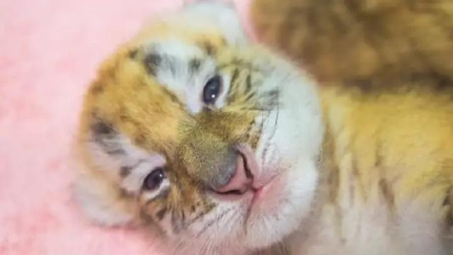 https: img.okezone.com content 2020 11 03 612 2303670 bayi-harimau-emas-superlangka-lahir-hanya-30-ekor-di-dunia-12R82juT7J.jpg