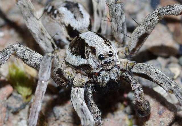 https: img.okezone.com content 2020 11 04 16 2303854 sempat-dianggap-punah-laba-laba-rubah-raksasa-8-mata-kembali-ditemukan-DQu66HxJkN.jpg