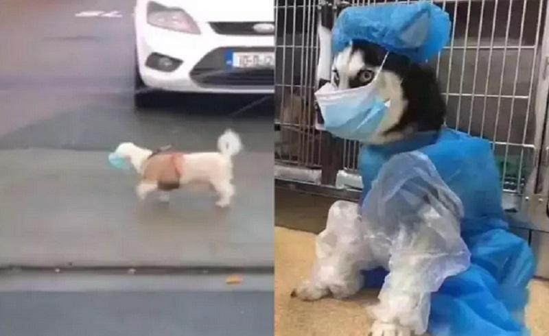 https: img.okezone.com content 2020 11 04 612 2304054 viral-seekor-anjing-berjalan-pakai-masker-bikin-gemas-MPPrIUhUb7.jpg