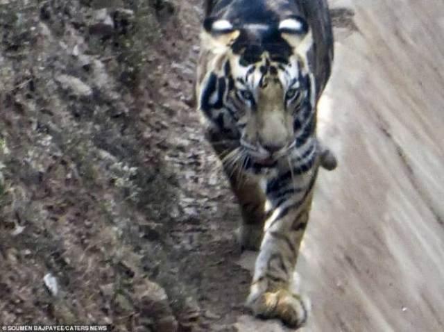 https: img.okezone.com content 2020 11 05 16 2304996 heboh-harimau-hitam-yang-dinyatakan-punah-tertangkap-kamera-WTAGzbCWmz.jpg