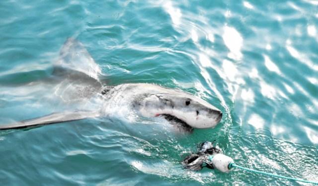 https: img.okezone.com content 2020 11 08 16 2306023 ilmuwan-kembali-temukan-hiu-putih-raksasa-di-pantai-amerika-zwdiuJfDAX.jpg