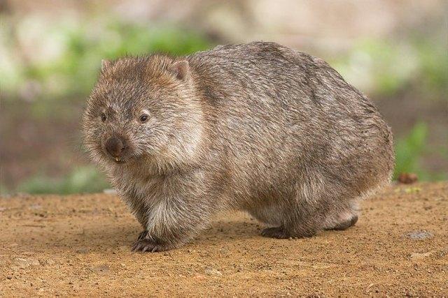 https: img.okezone.com content 2020 11 09 16 2306726 mengenal-wombat-hewan-yang-punya-kotoran-berbentuk-kubus-OBLuOclDu0.jpg