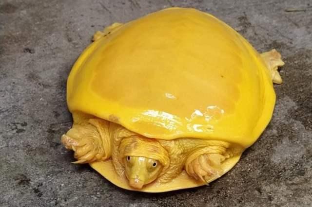 https: img.okezone.com content 2020 11 11 16 2307722 kura-kura-kuning-langka-ditemukan-di-india-i1vFhOBz8m.jpg