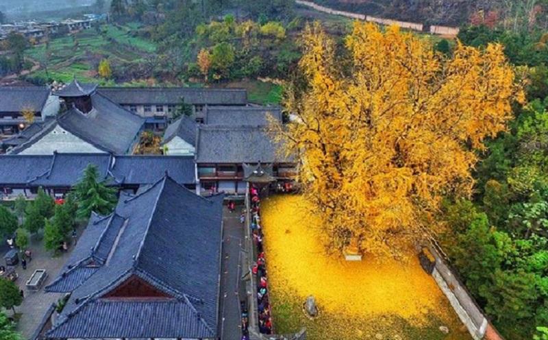 https: img.okezone.com content 2020 11 13 612 2309152 menakjubkan-begini-penampakan-pohon-berusia-1-400-tahun-warisan-kaisar-B6pFegFpbc.jpg