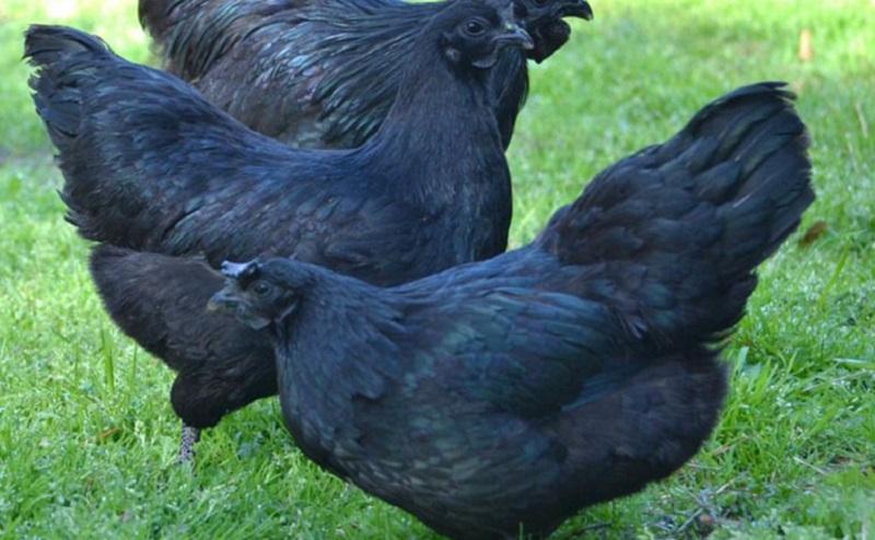 https: img.okezone.com content 2020 11 15 298 2309849 mengenal-ayam-cemani-telurnya-bisa-capai-rp250-ribu-per-butir-t5Yy69i31d.jpg
