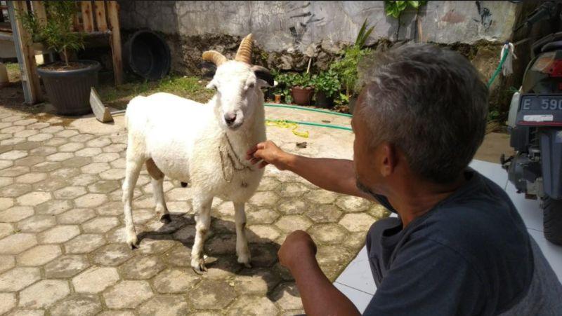 https: img.okezone.com content 2020 11 15 525 2309751 unik-domba-bertanduk-lima-bak-selebriti-di-kuningan-CPVh663Its.jpg