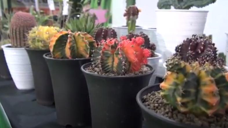 https: img.okezone.com content 2020 11 16 455 2310200 kaktus-warna-warni-hasilkan-cuan-di-tengah-corona-farizi-tersenyum-lebar-PHTwIZ61mE.png