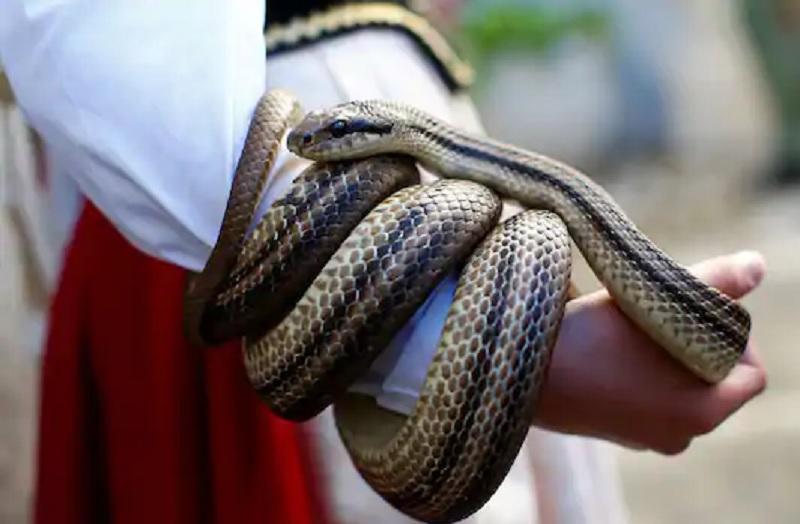https: img.okezone.com content 2020 11 17 481 2311283 ular-bakal-balas-dendam-jika-dibunuh-mitos-atau-fakta-n0wgOEzEZK.jpg