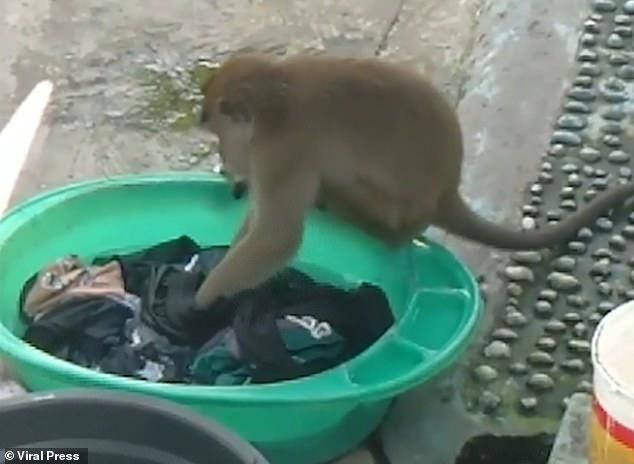 https: img.okezone.com content 2020 11 19 18 2312256 viral-hingga-ke-mancanegara-monyet-ikut-mencuci-pakaian-di-tanah-air-XQafjeJtU2.jpg