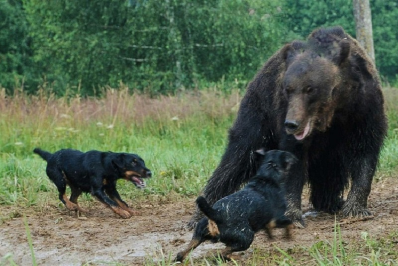 https: img.okezone.com content 2020 11 21 612 2313634 kisah-jagdterrier-anjing-pemburu-hasil-rekayasa-genetika-jerman-Dm7Xh12i9w.jpg