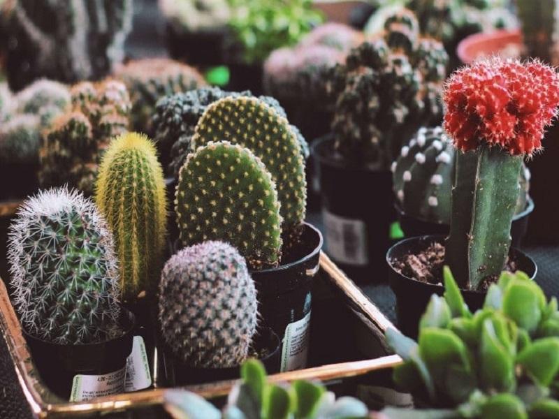 https: img.okezone.com content 2020 11 21 620 2313560 kaktus-vs-tanaman-hias-mini-mana-yang-lebih-gampang-dirawat-Zv8wgQ7U1A.jpg