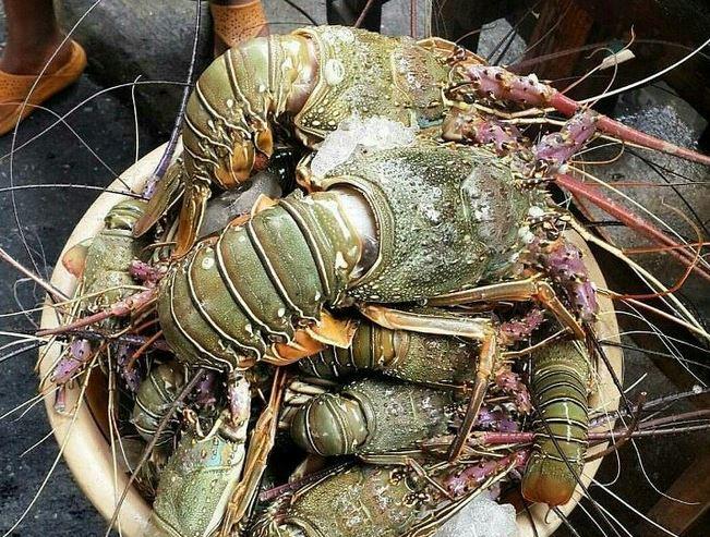 5 Jenis Lobster Yang Hidup Di Perairan Indonesia Harganya Bisa Sampai Jutaan Okezone Travel