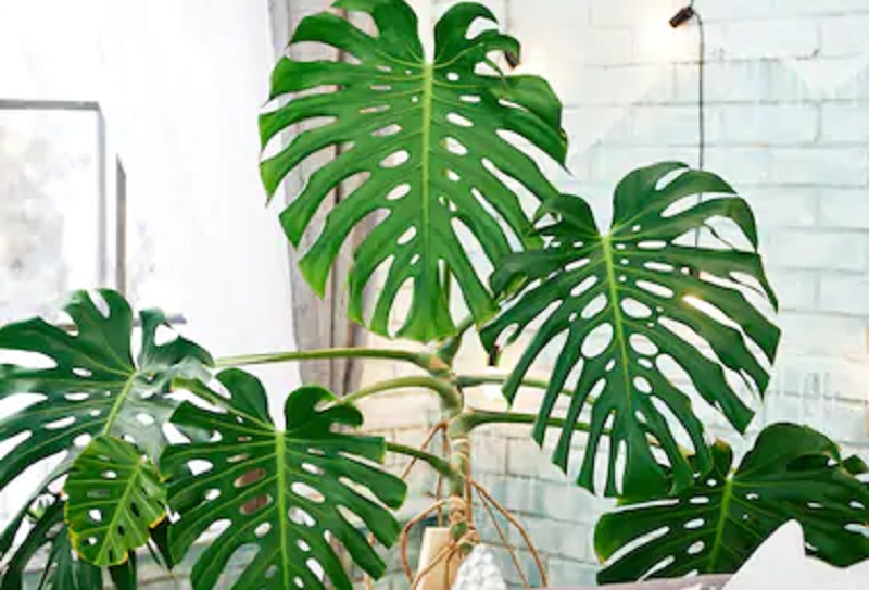 https: img.okezone.com content 2020 11 26 470 2316549 tanaman-hias-bernilai-estetika-ini-3-fakta-menarik-monstera-deliciosa-1cCuxYDgPx.jpg