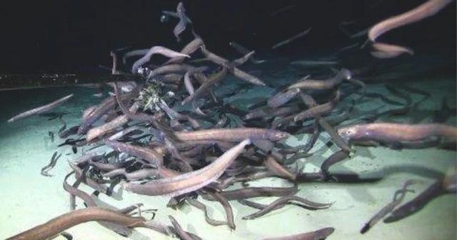https: img.okezone.com content 2020 11 26 612 2316759 kelompok-besar-belut-ditemukan-hidup-di-bawah-laut-dalam-kalahkan-ikan-v6AcuAts7I.jpg