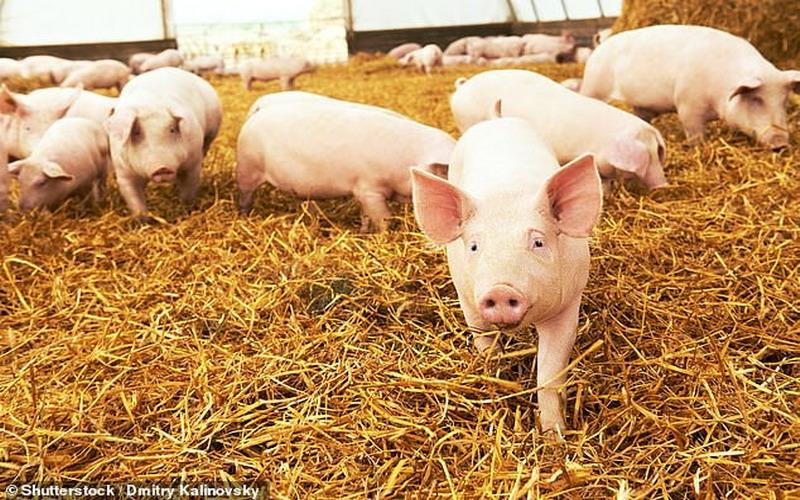 https: img.okezone.com content 2020 12 04 18 2321908 mengapa-kucing-dan-sapi-bisa-tertular-covid-19-babi-dan-ayam-tidak-aIj9ZgNdUz.jpg
