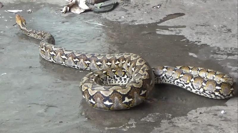 https: img.okezone.com content 2020 12 05 340 2322149 mangsa-kambing-ular-piton-4-meter-dievakuasi-warga-q1avjSrg7Z.jpg