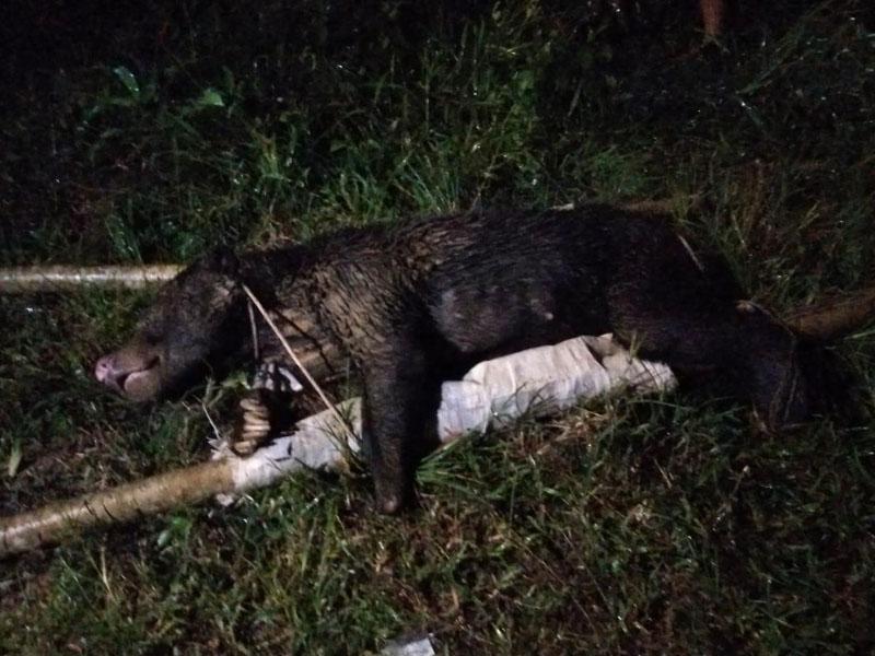 https: img.okezone.com content 2020 12 09 340 2324604 jebak-babi-hutan-yang-kena-malah-beruang-madu-5EjLrhVupB.jpg