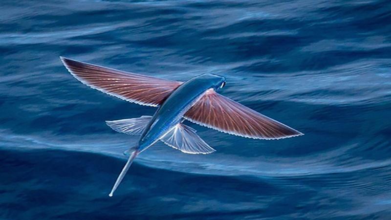 https: img.okezone.com content 2020 12 14 16 2327533 ikan-terbang-hanya-mampu-meluncur-di-atas-permukaan-laut-bukan-terbang-AdCFnbeI2Y.jpg