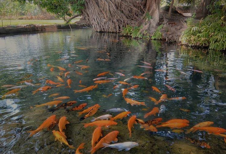https: img.okezone.com content 2020 12 15 408 2327949 sumber-wuluh-wisata-kolam-ikan-hias-nan-asri-peninggalan-majapahit-kpGVDHmeL6.JPG