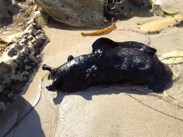https: img.okezone.com content 2021 01 02 612 2337622 wow-siput-laut-raksasa-ini-miliki-berat-14-kg-tampangnya-mirip-alien-AKMj4It0mQ.jpg