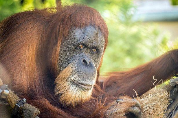 https: img.okezone.com content 2021 01 11 18 2342384 kondisi-semakin-memburuk-orangutan-tertua-di-dunia-disuntik-mati-dAvj3ItAaT.jpg