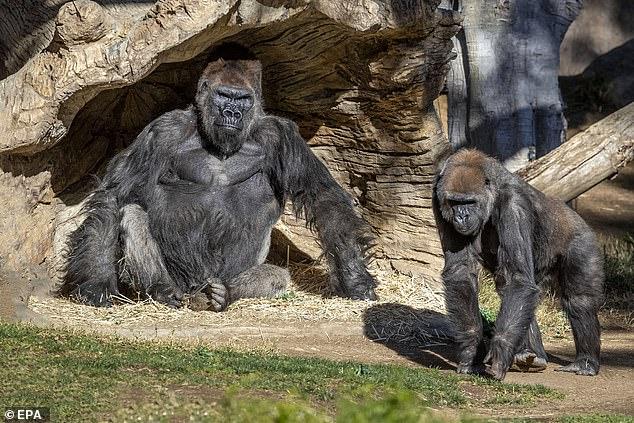 https: img.okezone.com content 2021 01 12 18 2342860 kasus-covid-19-pertama-akhirnya-ditemukan-di-gorila-5L5YcD2tom.jpg