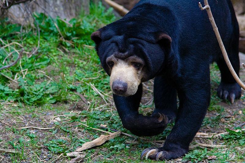 https: img.okezone.com content 2021 01 12 406 2343344 beruang-madu-kembali-muncul-di-jalur-wisata-kelok-44-P2UReKOYUn.jpg