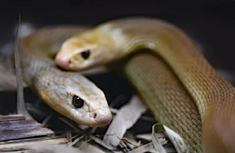 https: img.okezone.com content 2021 01 16 612 2345415 nekat-seorang-pria-tidur-dengan-72-ular-berbisa-selama-3-hari-Hl5kkQ5YVu.jpg