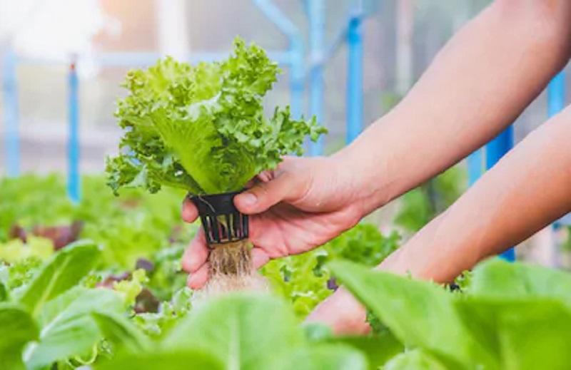 https: img.okezone.com content 2021 01 17 455 2345794 raup-cuan-dari-bisnis-sayuran-hidroponik-begini-caranya-2wYq6yCKQM.jpg